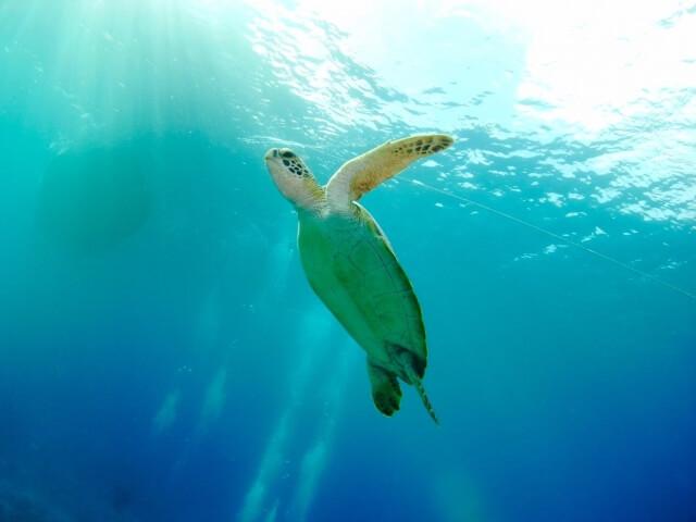 ウミガメに会える海の楽園!宮古島でウミガメに出会える厳選スポット!